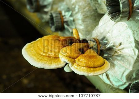 Colorful Lingzhi Mushrooms