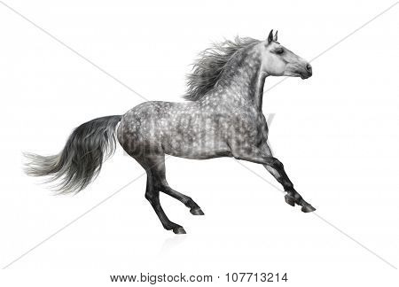 The grey horse of the Andalusian breed gallops on white background