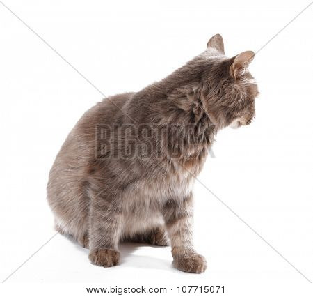 Beautiful grey cat isolated on white background poster