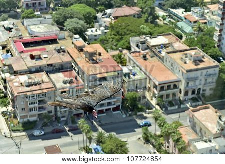 The American vultures (Cathartidae Lafresnaye) soars over Havana Cuba. Birds eye view over city of HavanaCuba. Aerial view poster