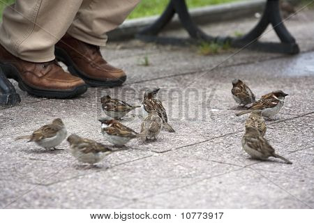Flock of sparrows eating crumbs on the pavement poster