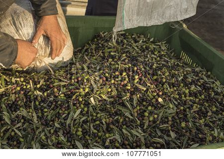 Oil And Olives Cilento. Campania. Aquara (it). Extra Virgin Olive. Production Stage. Delivery Of The