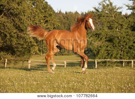 Young Chestnut Mare On Pasture