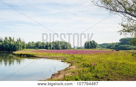 Purple Loosestrife Flowering In A Marshy Natural Area