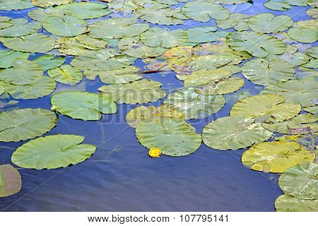 pond and water lilies. Beginning of flowering water lilies in summer
