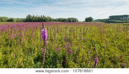 Flowering Purple Loosestrife From Close