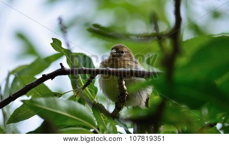Serinus bird