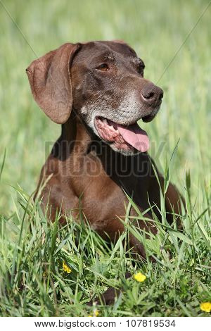 Beautiful Bitch Of German Shorthaired Pointer
