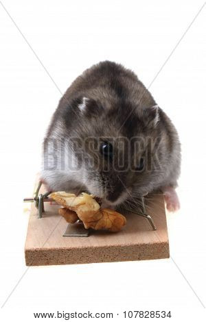 Dzungarian Mouse In The Mousetrap