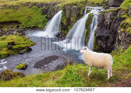 Threaded full-flowing waterfall Kirkyufell Foss on the grassy mountains. White sheep grazing near the picturesque waterfall
