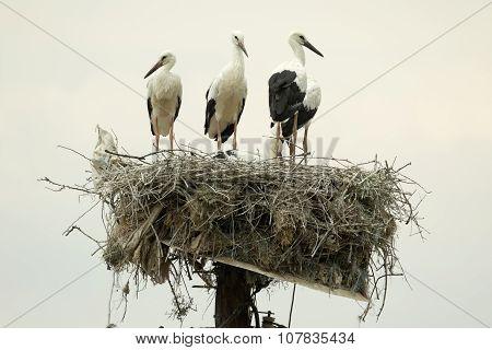 White Storks On The Nest