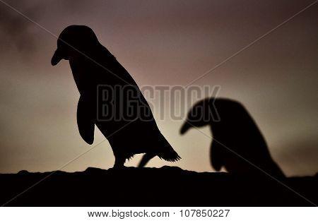 African Penguin In Twilights. African Penguin (spheniscus Demersus)