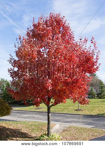 Red Fall Tree