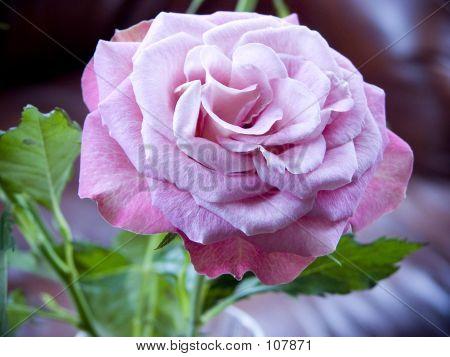 Dusky Pink Rose