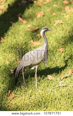 Blue crane, Anthropoides paradiseus