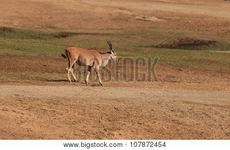 Grant's gazelle, Nanger granti, is found in northern Tanzania poster
