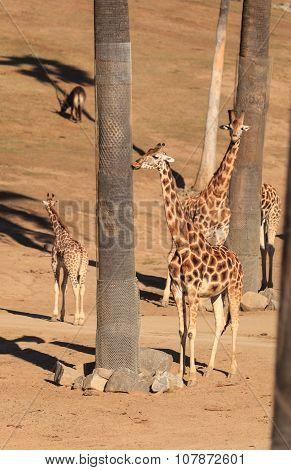 Giraffes, Giraffa camelopardalis