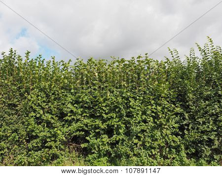 Hazel Tree Hedgerow