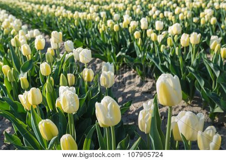 Creamy Colored  Blossoming Tulips In Rows