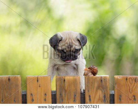 the puppy pug is watching crawling snail fence