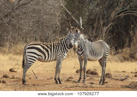 Two Species of Zebra: Burchell's (Common) and Grevy's
