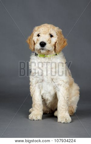 Cute Goldendoodle Pup