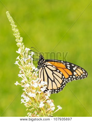 Monarch butterfly feeding on white flowers of a Butterfly Bush, with summer green background