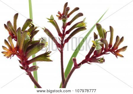 The Western Australian Red And Green Kangaroo Flower
