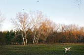 a dog walking on meadow with trees. late autumn pink rays of sunset. poster