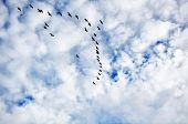 Canadian Geese in flight formation heading south during migration. poster