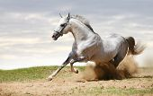beautiful silver-white stallion running under the sky poster