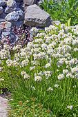 Campion viskarya (Latin name Lychnis viscaria). Flowering bush in the garden flowerbed poster