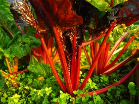 Ruby Rainbow Chard stems