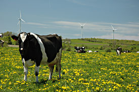 Holstein cow and windmills