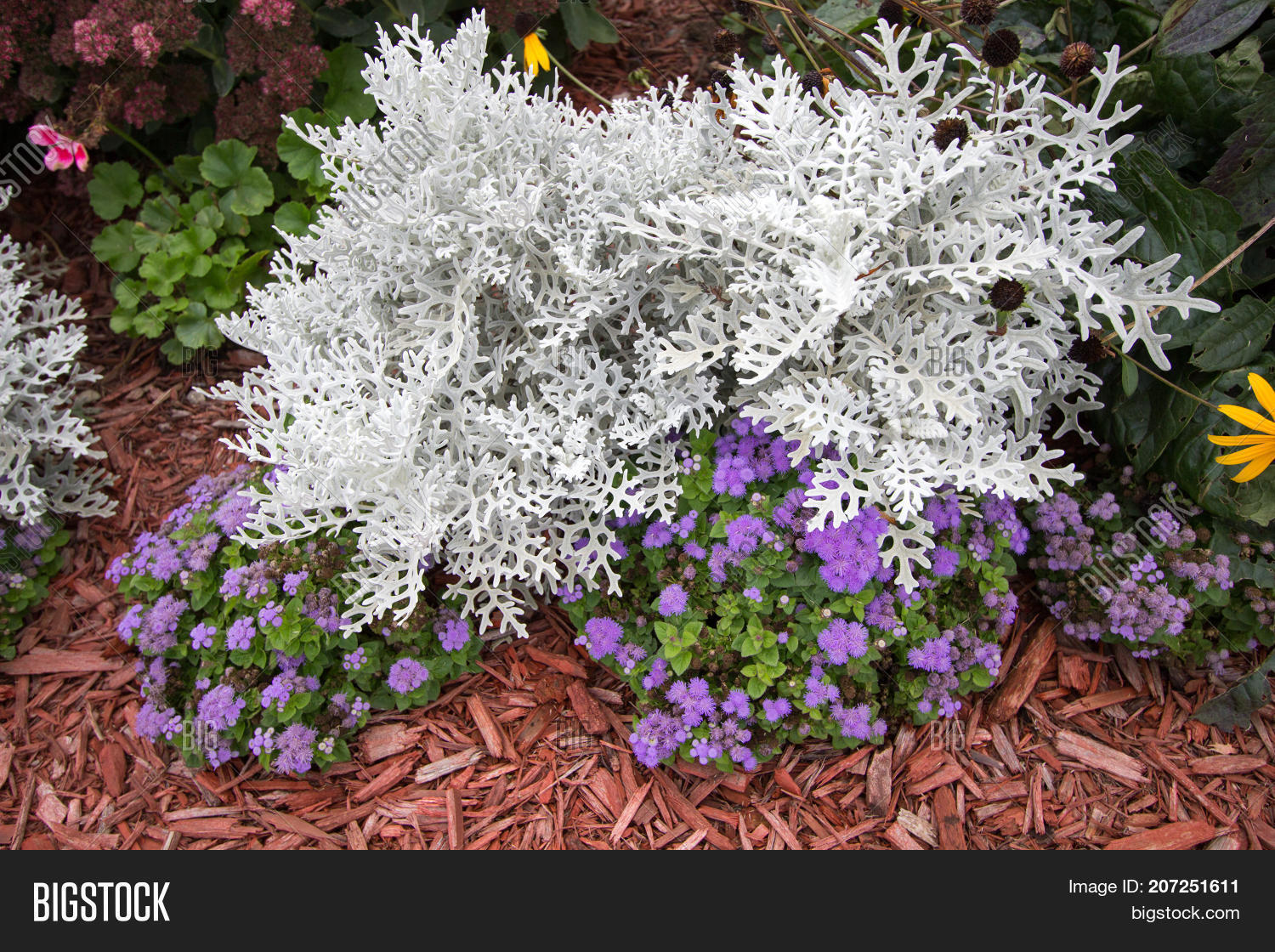 Summer garden annuals image photo free trial bigstock summer garden annuals background dusty miller plant surrounded by colorful annuals dusty miller is izmirmasajfo