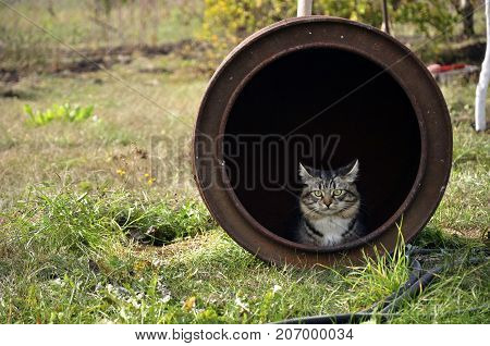 Cat sitting and looking out of iron barrel that lies on the grass in garden