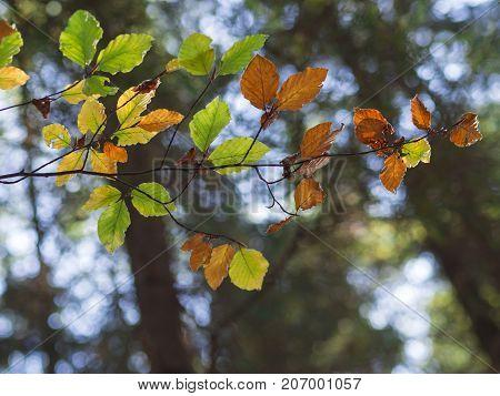 Colorful Alder Tree Autumn Leaves On Bokeh Lights Background