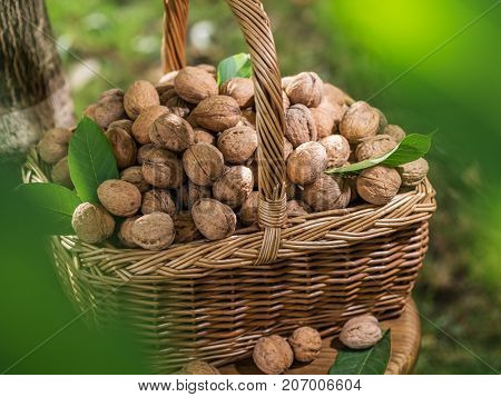 Walnut harvest. Walnuts in the basket on the wooden table.