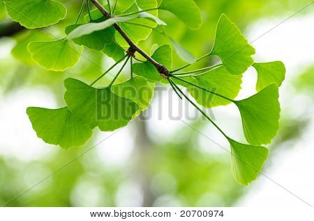 Leaves Of Gingko Biloba Tree