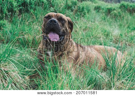 The Brown Pit Bull Is In The Grass