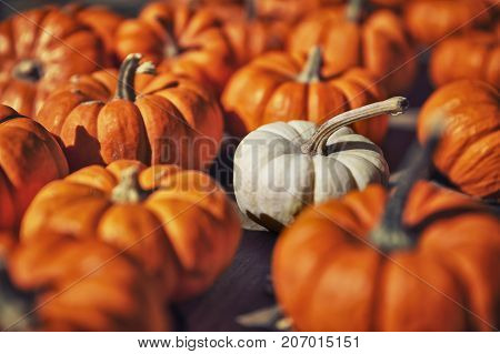 one white pumpkin among small orange pumpkins. pumpkins at the farm market. the concept of difference. selective focus