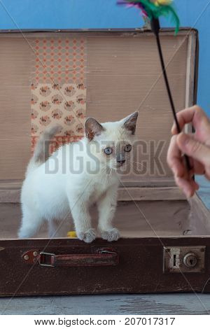 Kitten Of Scottish Straight Breed With Blue Eyes Sits Inside Vintage Suitcase