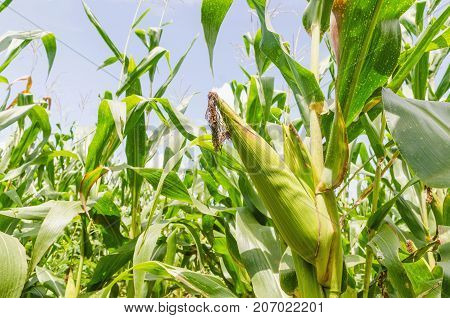 selective focus green corn on stalk in field