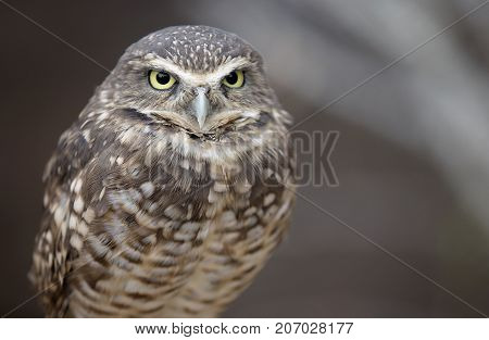 Close up image of a burrowing owl.  Shallow depth of field