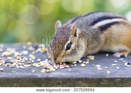 Closeup of chipmunk face and eyes as he eats seeds in fall preparing and storing up for winter. Autumn scene in nature woodland wildlife