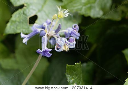 Flower Of The Clematis (clematis Heracleifolia)