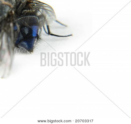 Back Of The Abdomen Of A Huge Blowfly