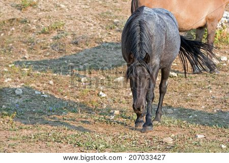 Blue Roan Bay Stallion Wild Horse In Snaking Posture In The Pryor Mountains Wild Horse Range In Mont