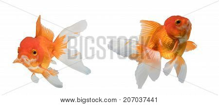 Two goldfish isolated on white background. File contains a clipping path.