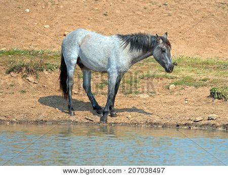 Blue Roan Yearling Colt Wild Horse At The Water Hole In The Pryor Mountains Wild Horse Range In Mont